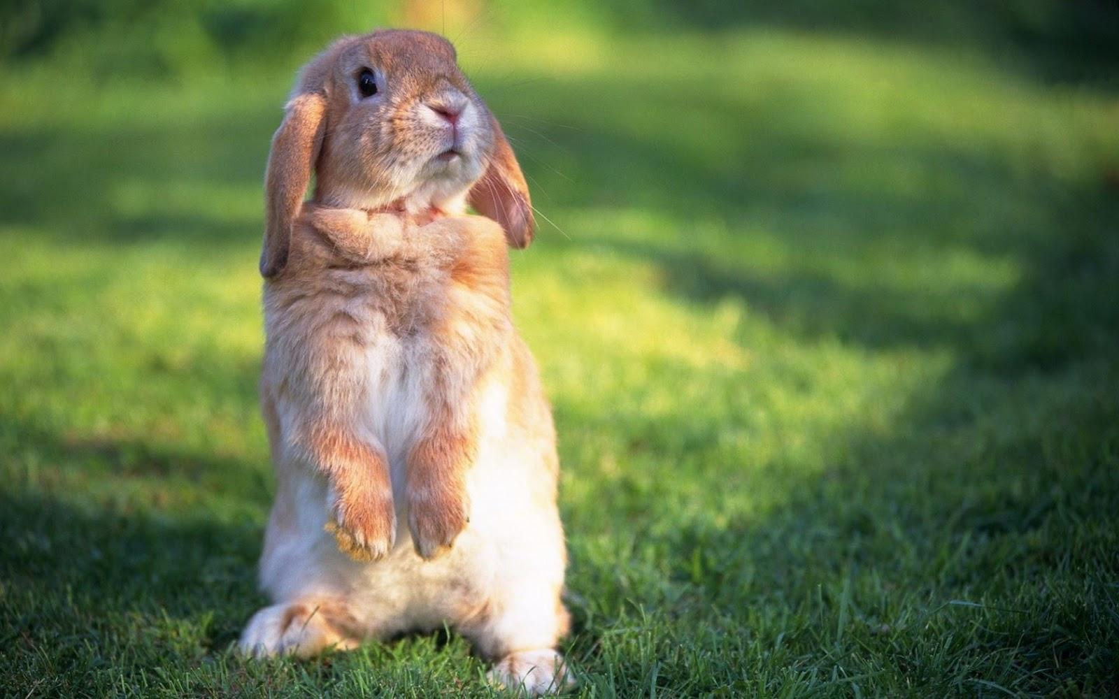 rabbit hd