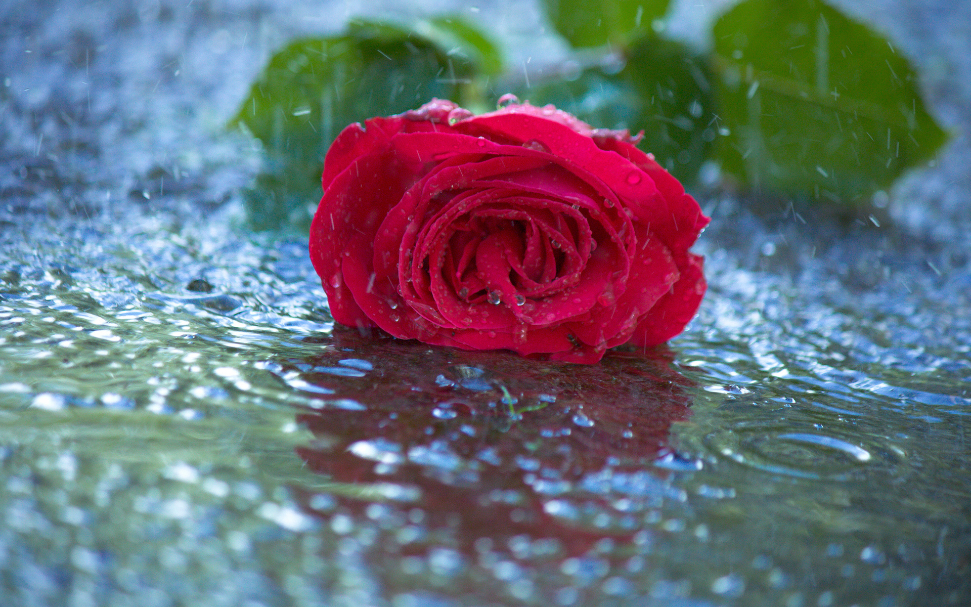 rainfall red rose love