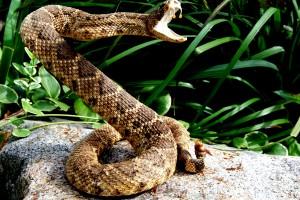 rattlesnake wallpaper wild