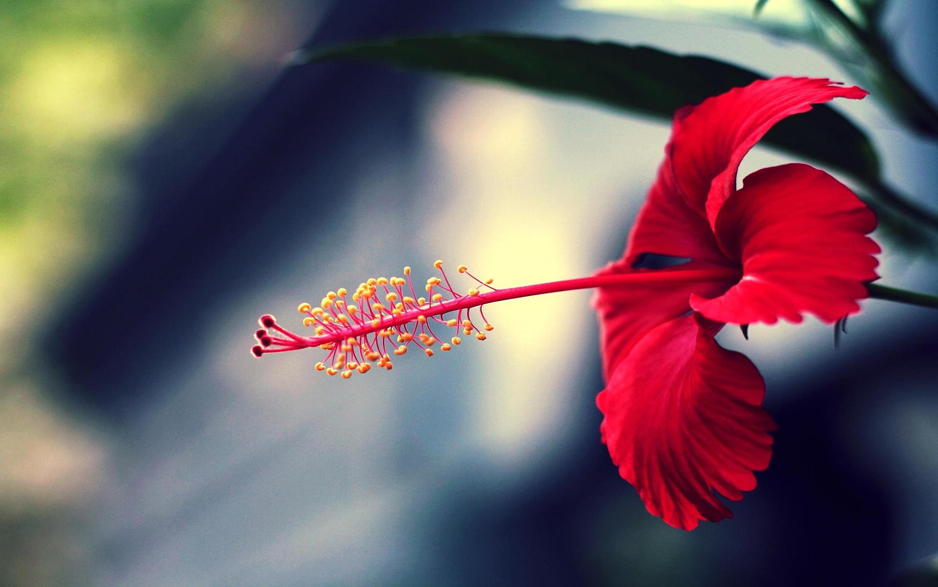red flower macro wallpaper