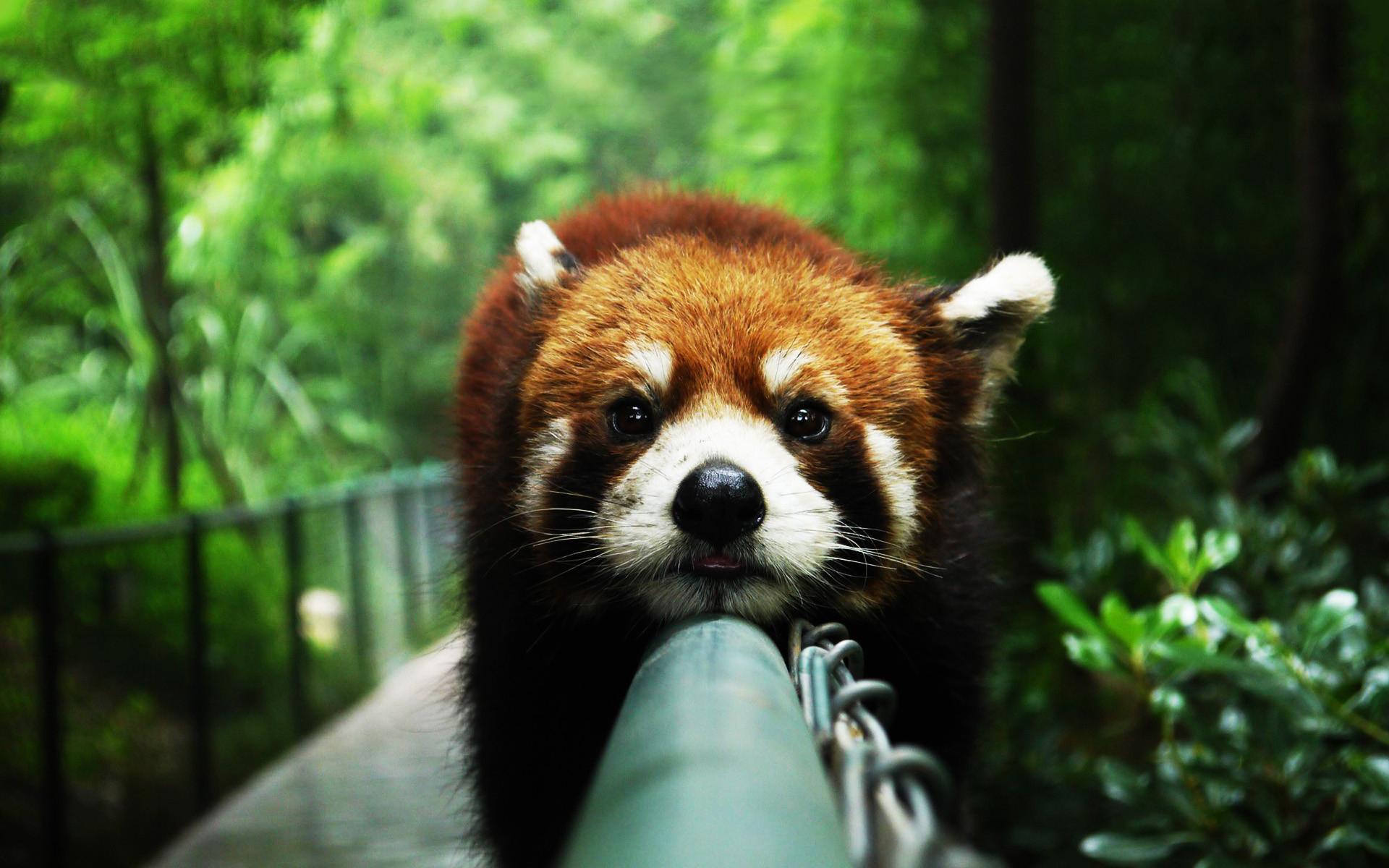 red panda funny