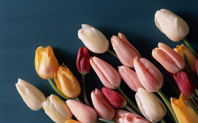 red tulip pictures petals