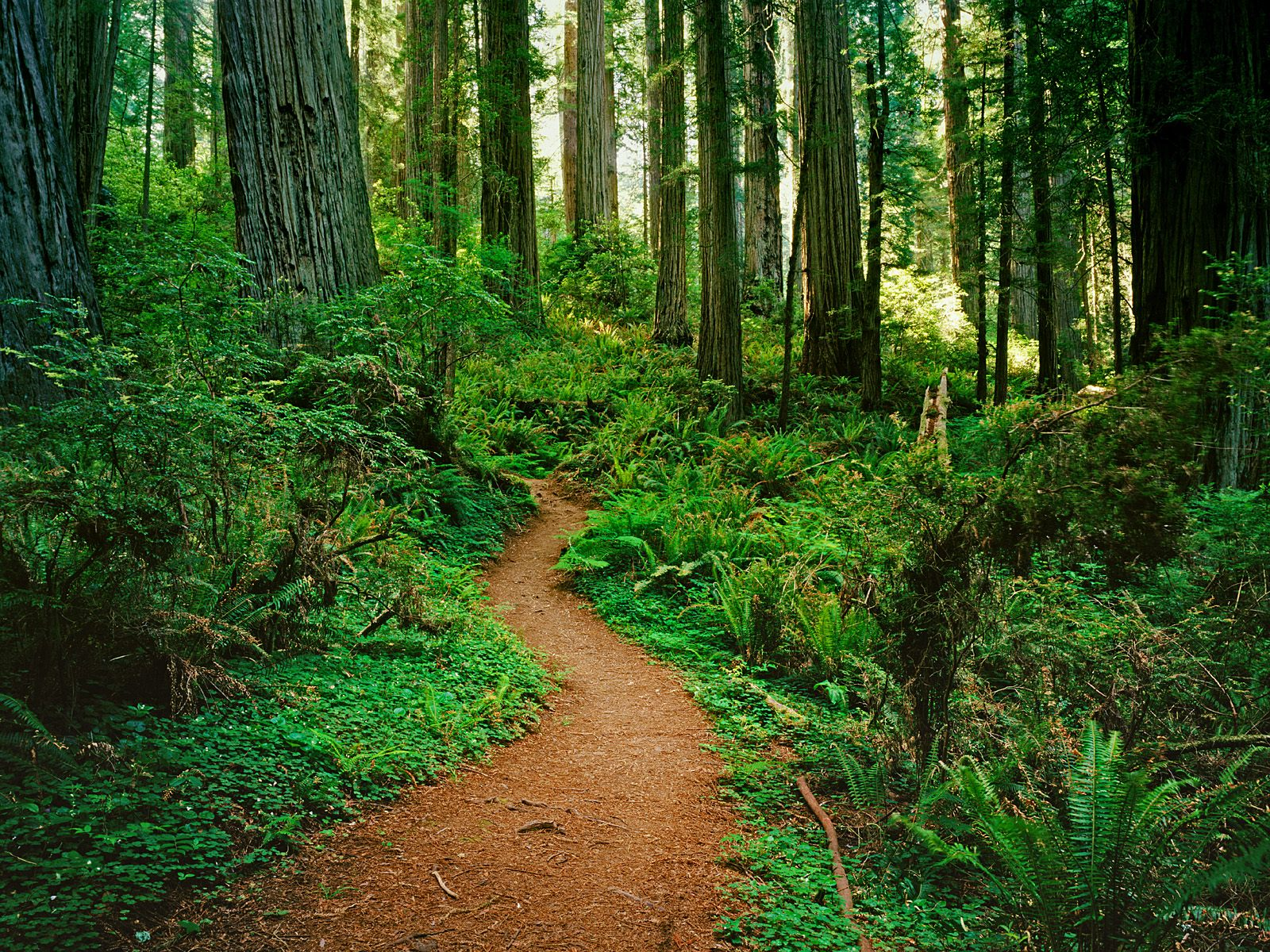 redwood forest hd