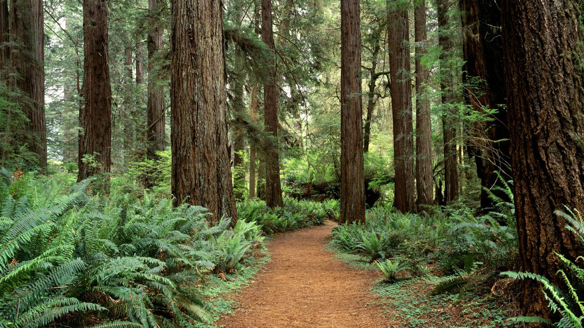 redwood nature forest
