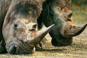 rhinoceros wallpaper