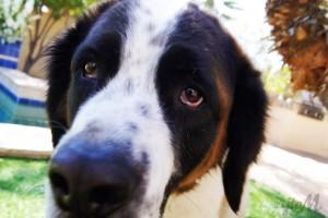 saint bernard dog pictures