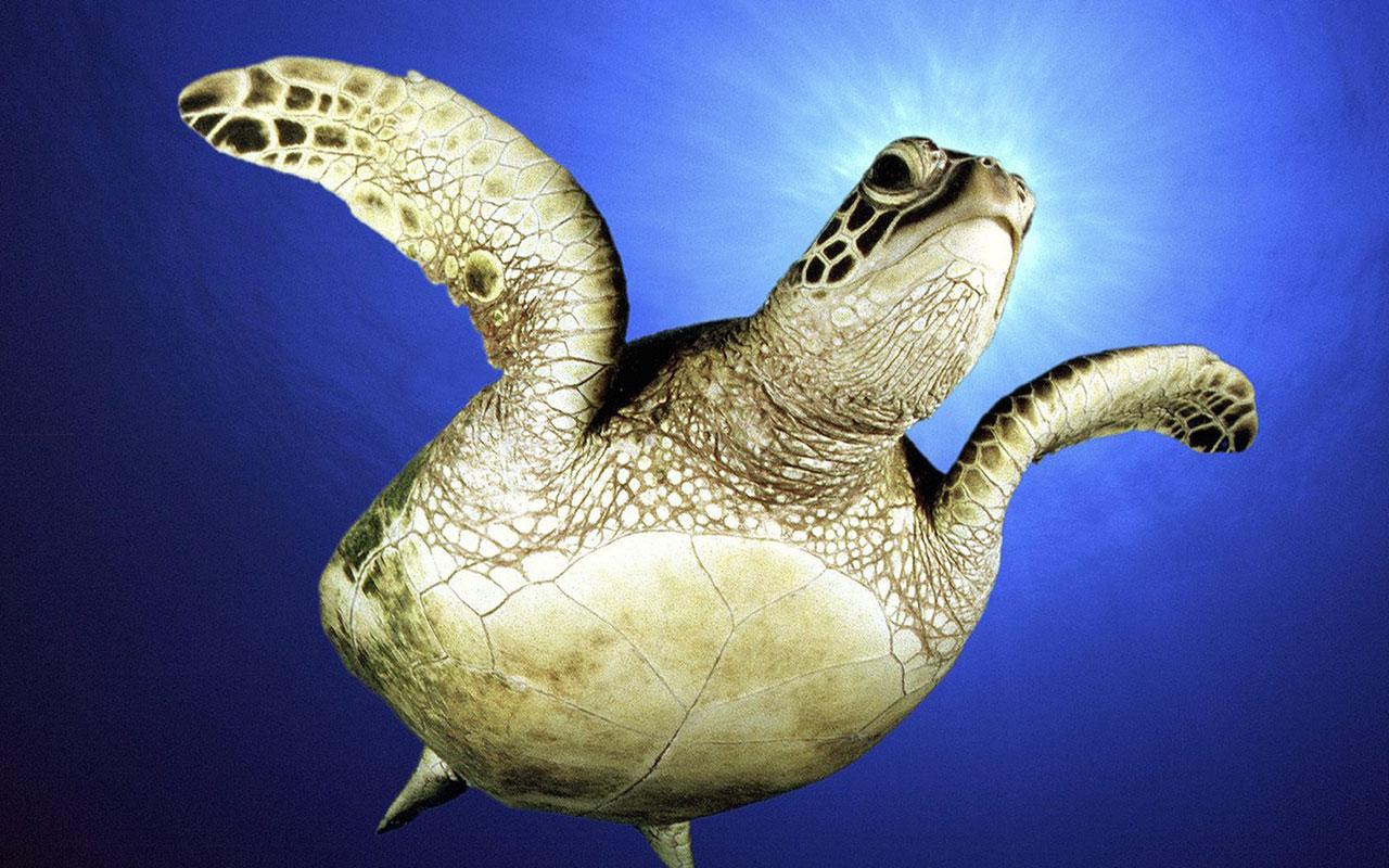 sea turtle hd