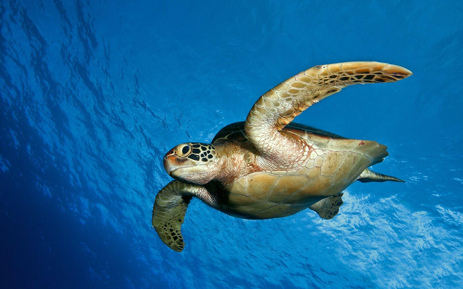 turtle, Tortoise, Underwater, Ocean, Sea, Wildlife