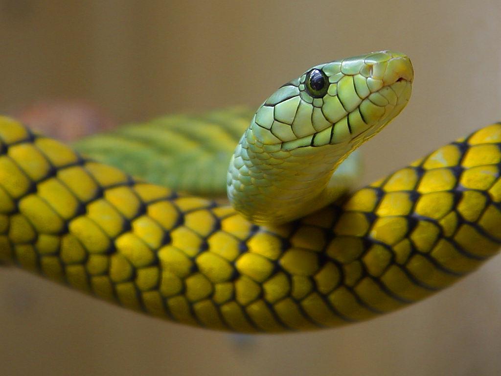 snake desktop wallpaper