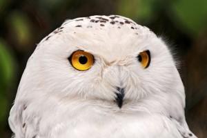 snow owl wallpaper