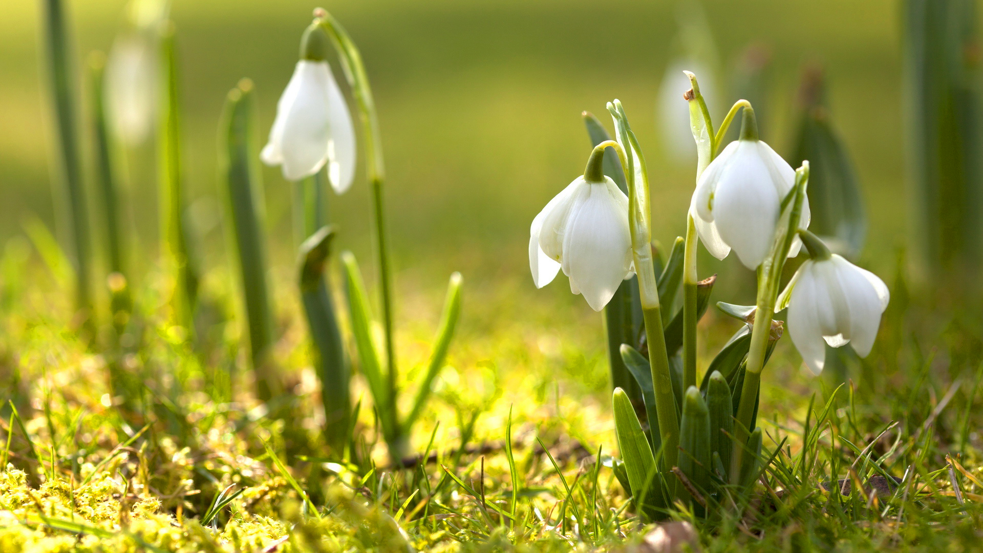 snowdrop  images
