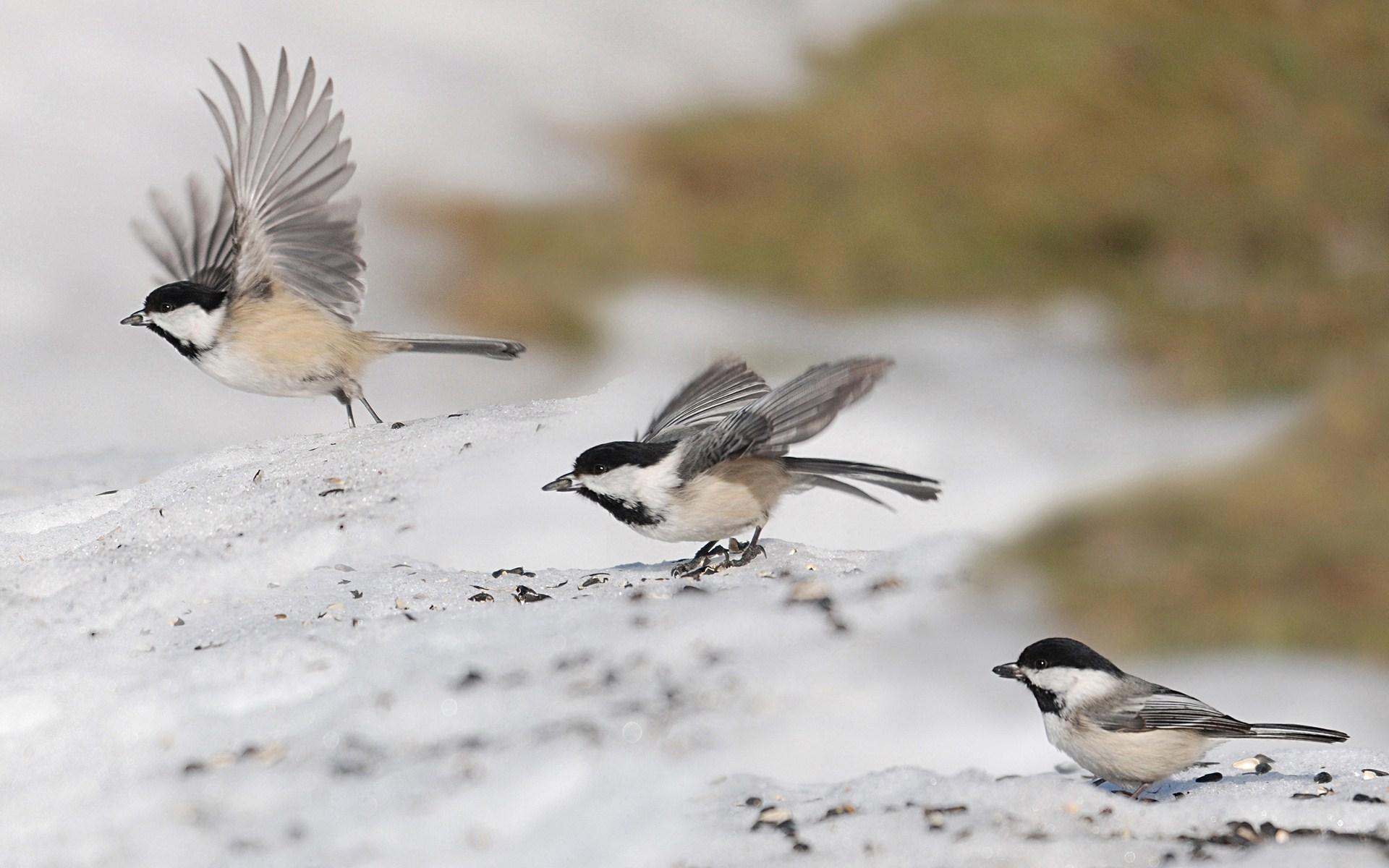sparrow birds