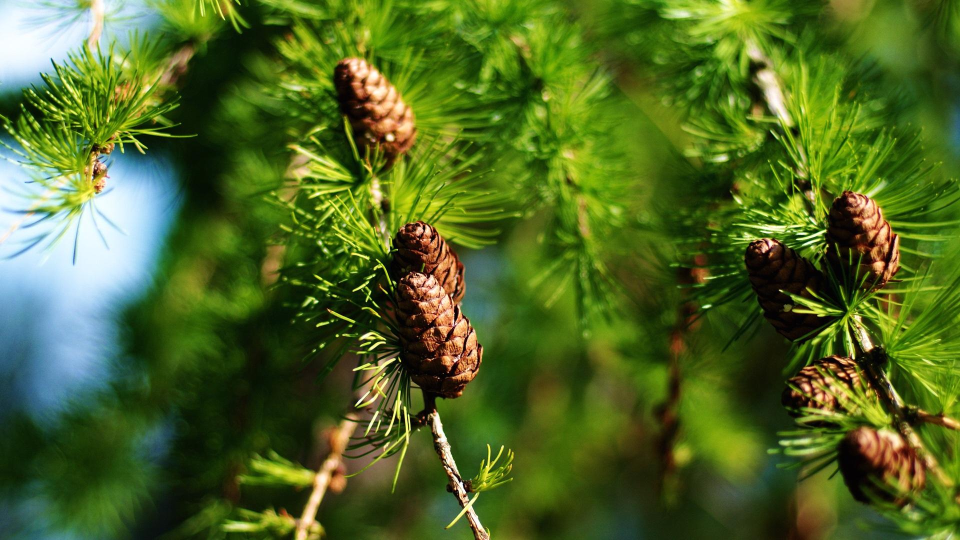 spruce wallpaper free