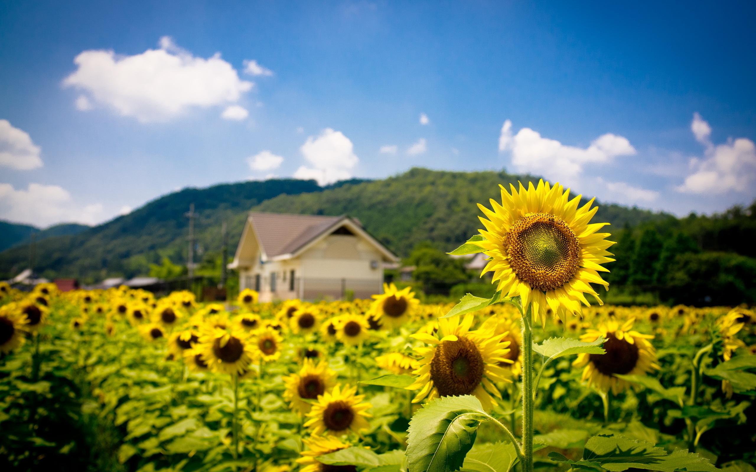Summer Sunflowers Field Hd Desktop Wallpapers 4k Hd