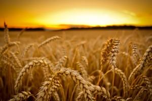 summer sunset wallpaper cornfield