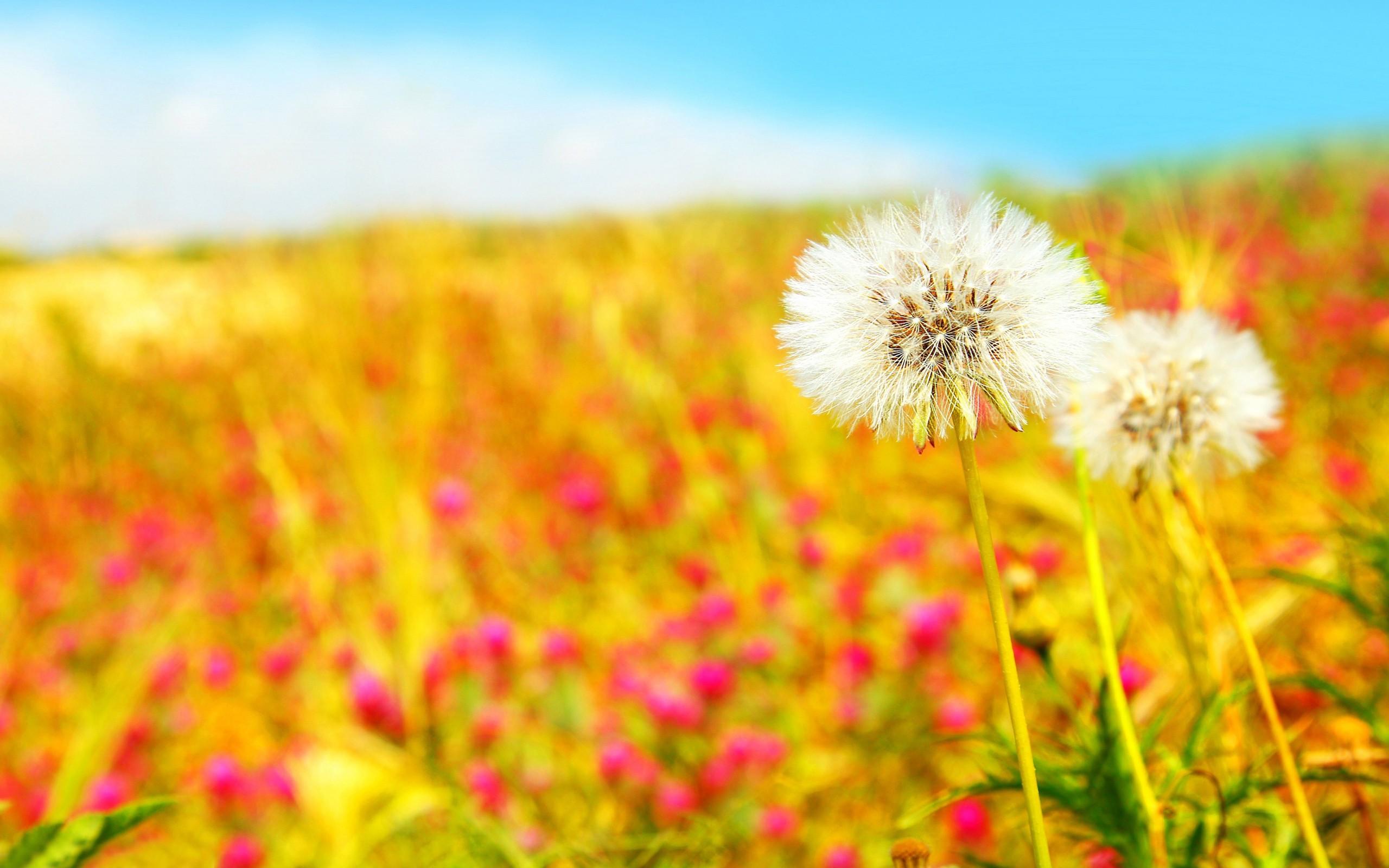 summer wallpaper dandelions