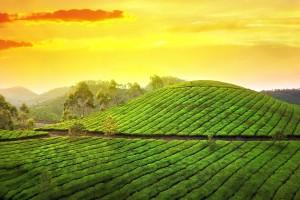 sunset pictures tea garden