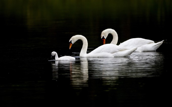 swans images