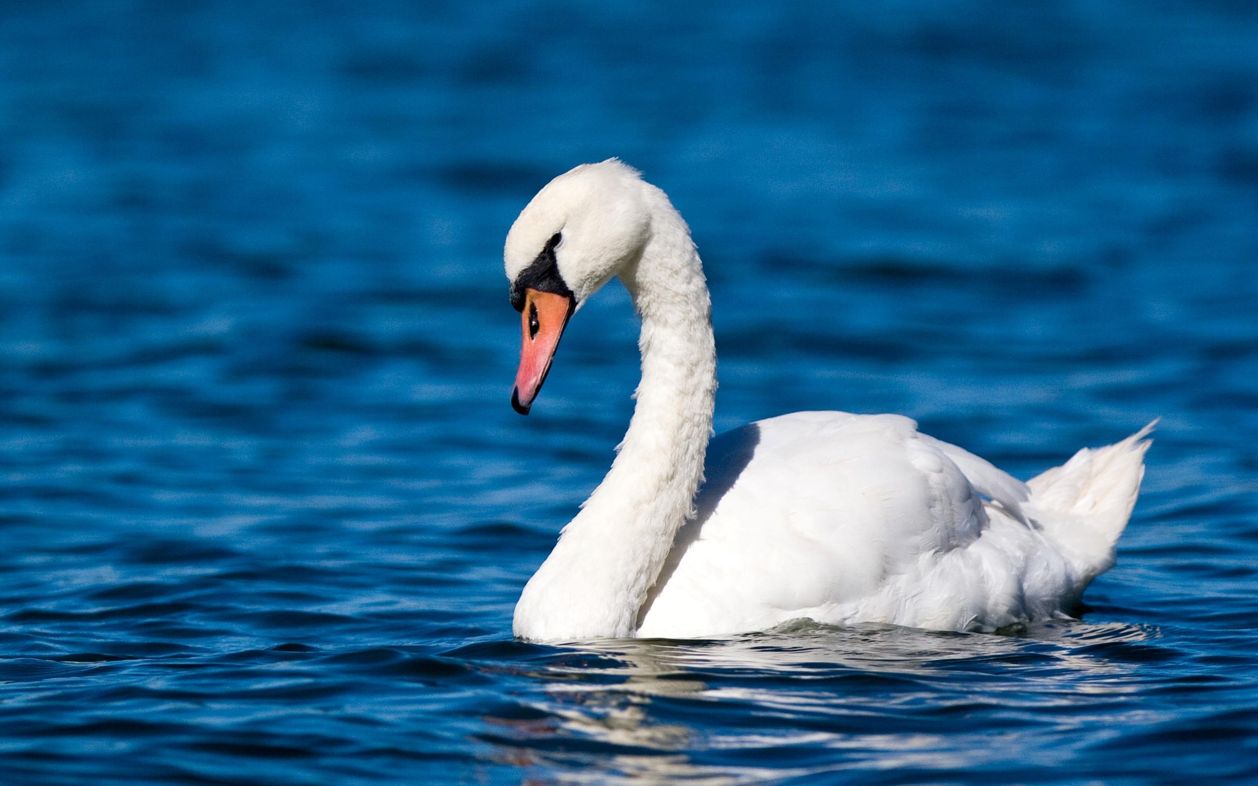 swans wallpaper