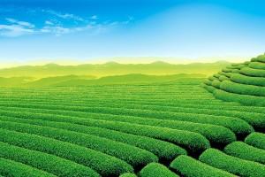 tea garden wallpaper