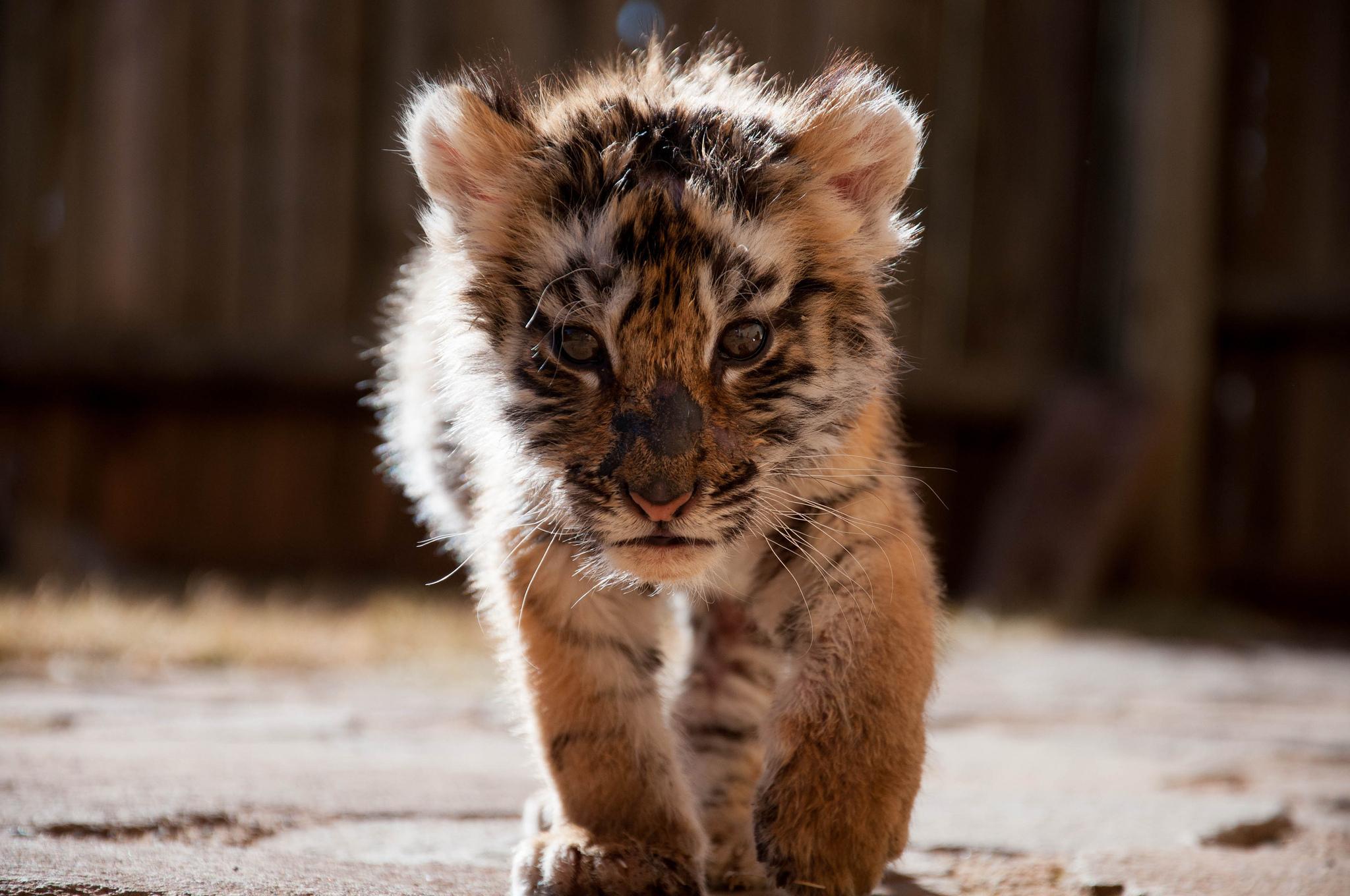 tiger baby cub cute