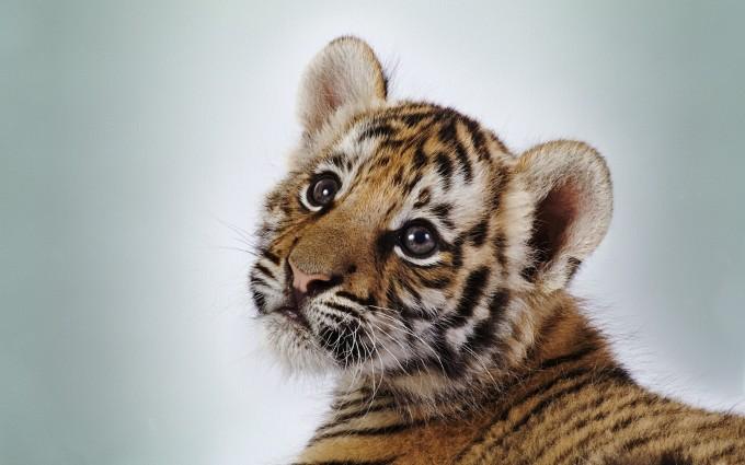 tiger baby cub eyes