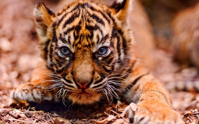tiger eyes wallpaper