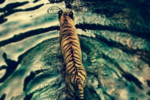 tiger from above