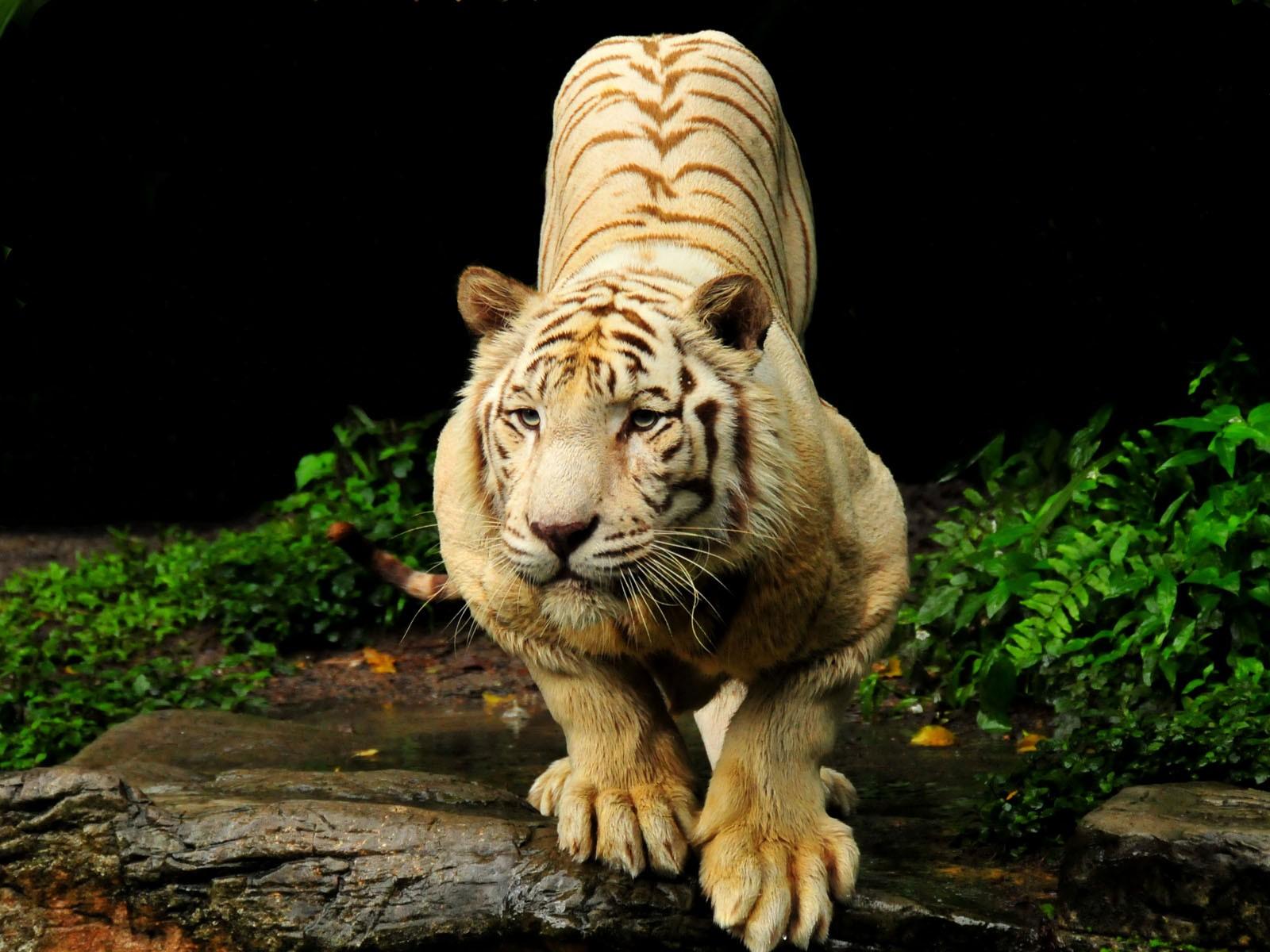 tiger images wallpaper
