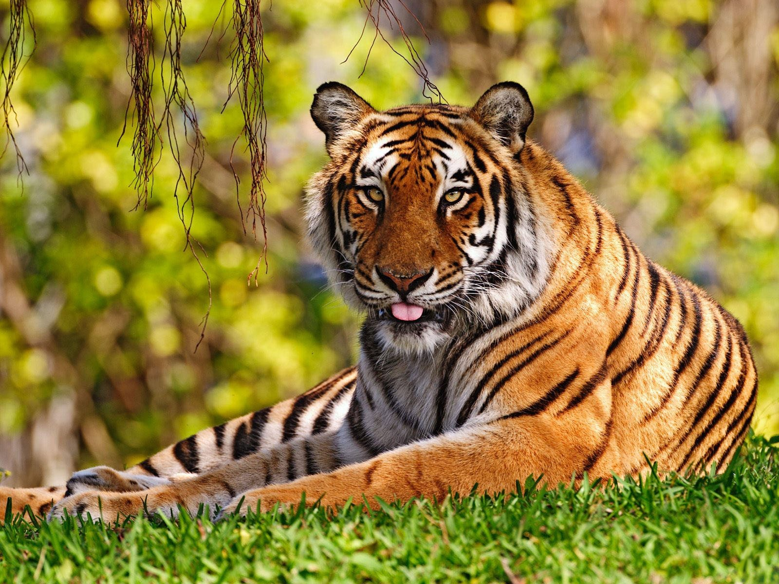 tiger pictures photos