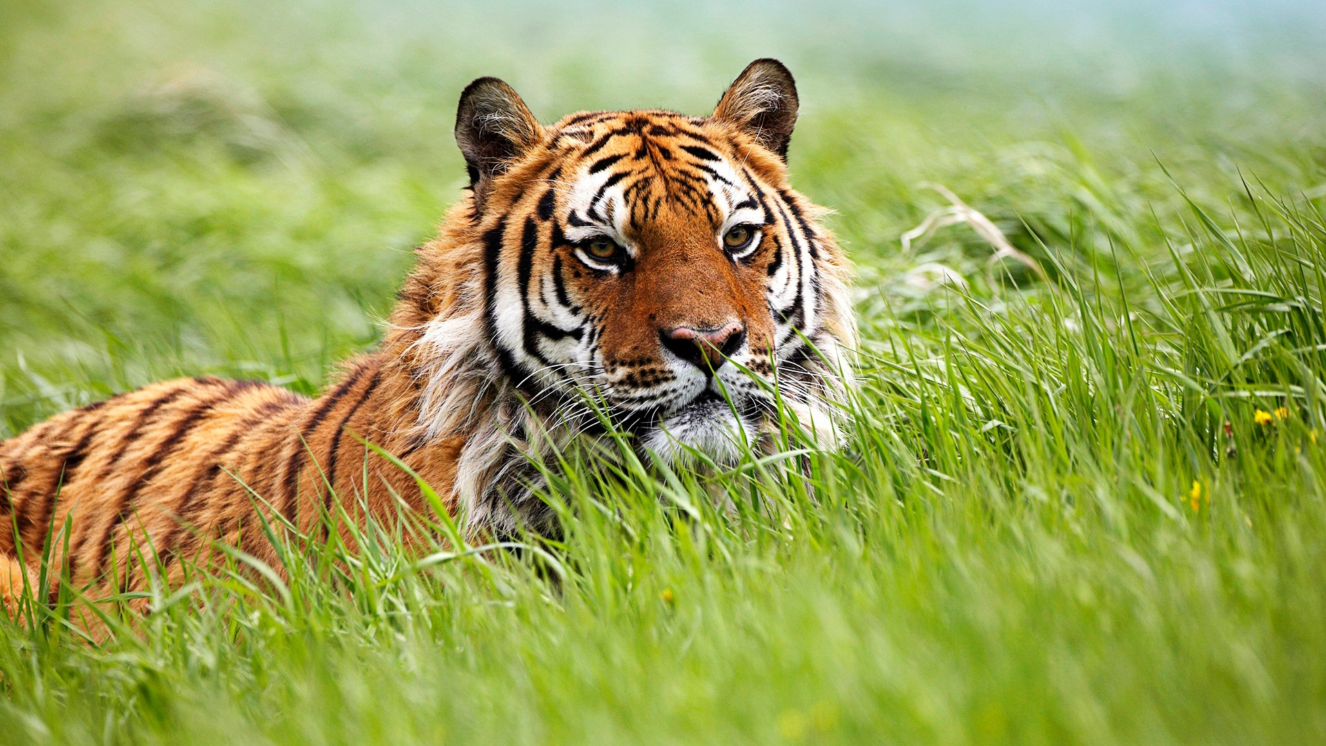 tiger wallpapers in hd