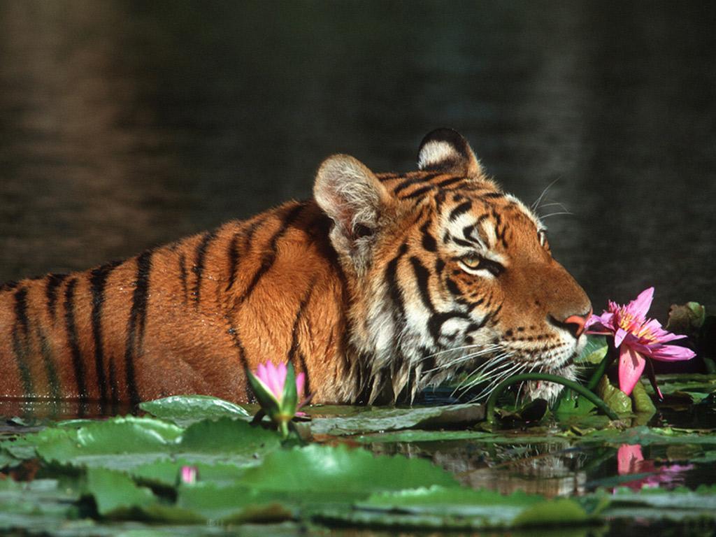 tigers pics wallpapers