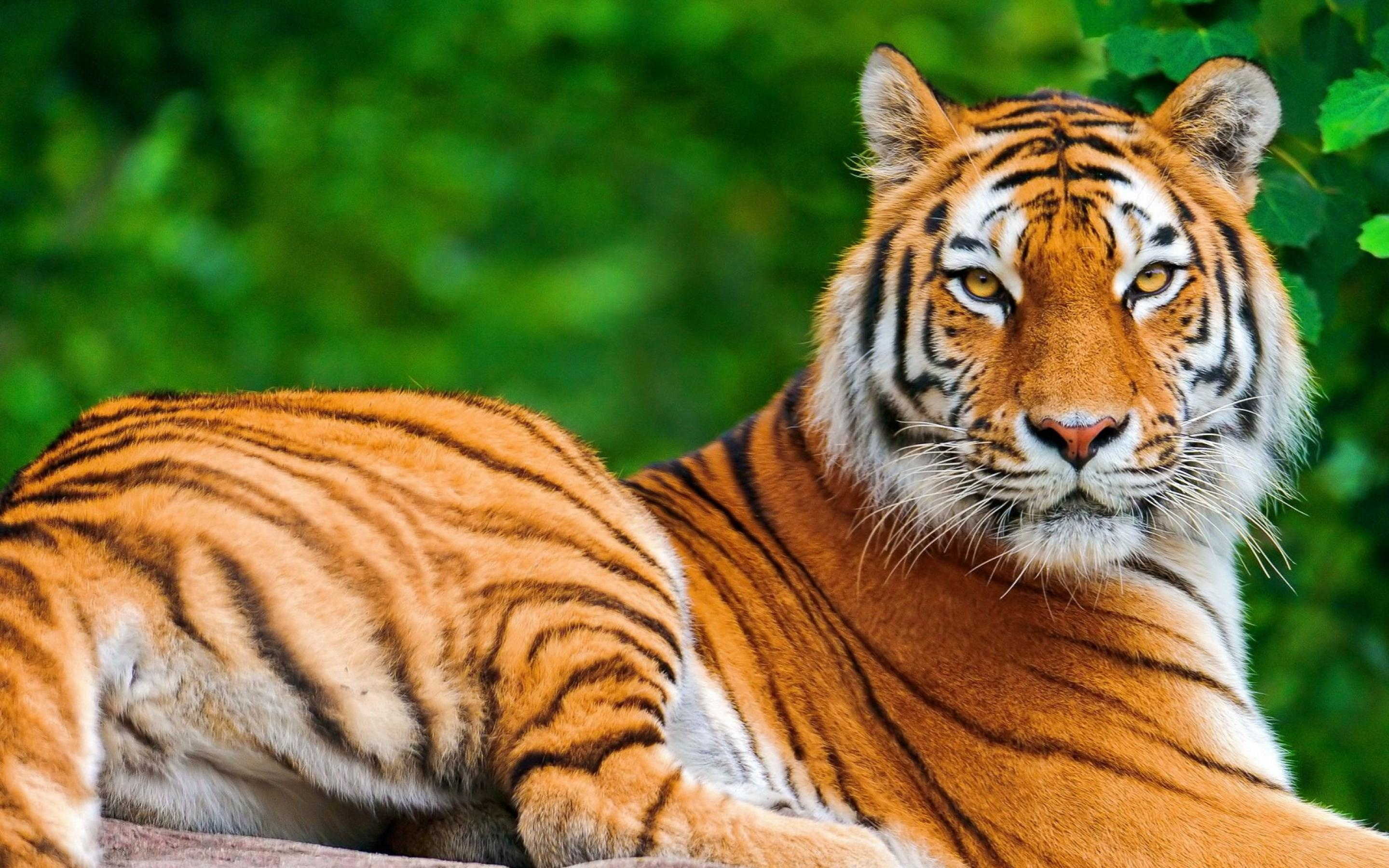 tigers pictures