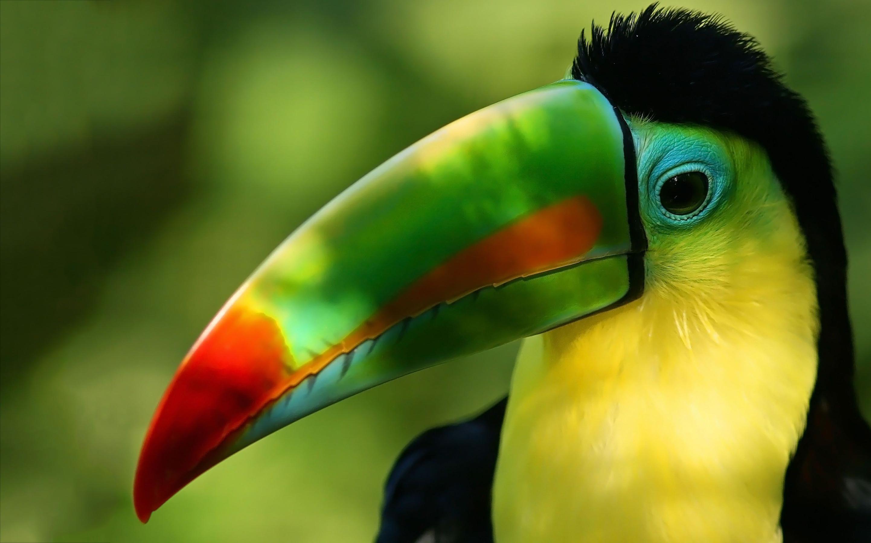 toucan bird free