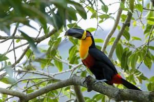 toucan bird mobile