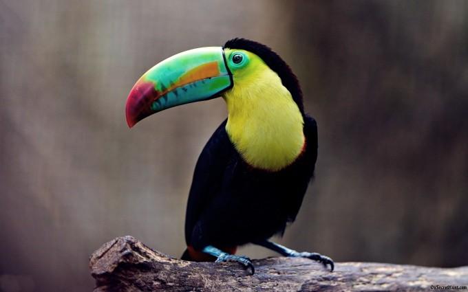 toucan bird photos