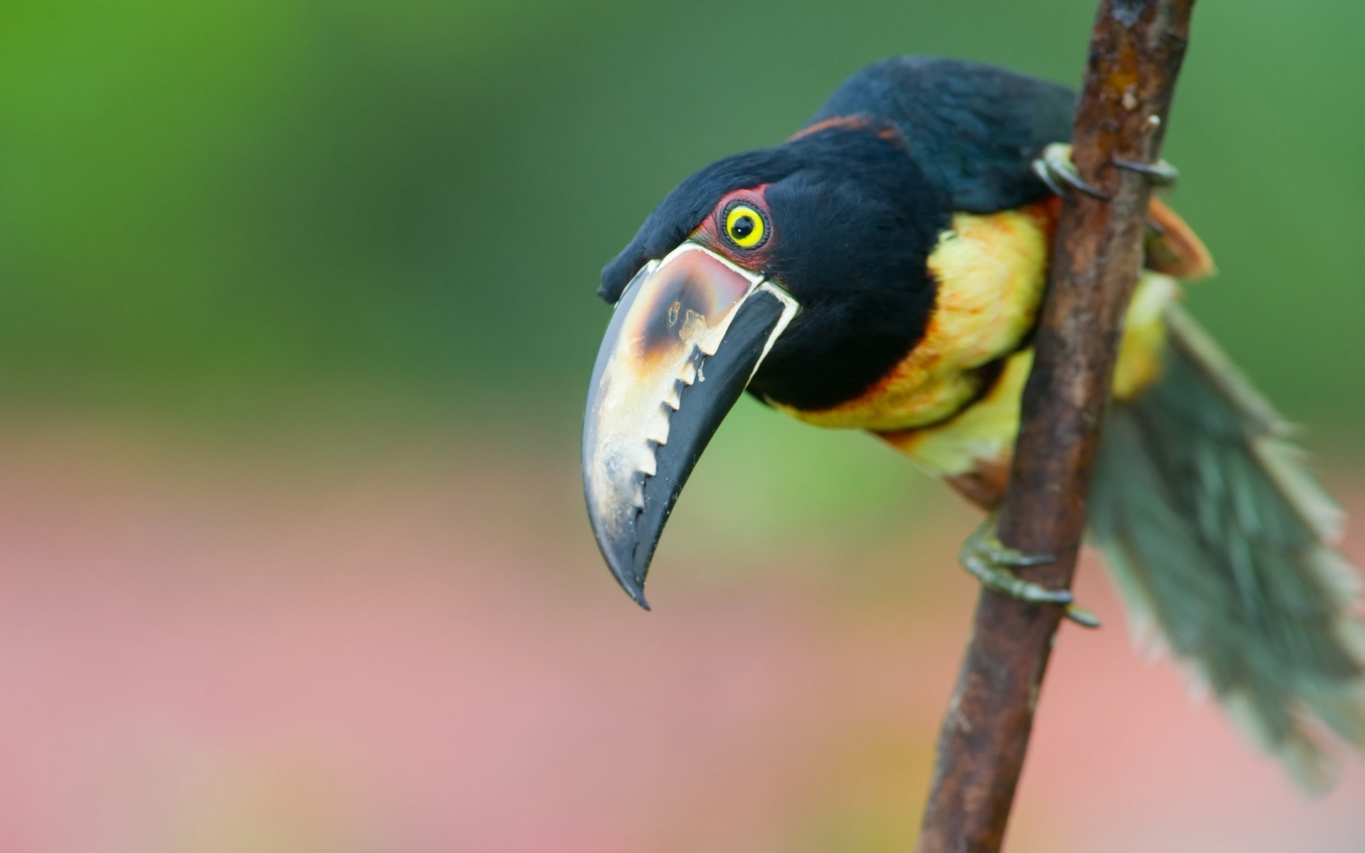 toucan bird picture hd