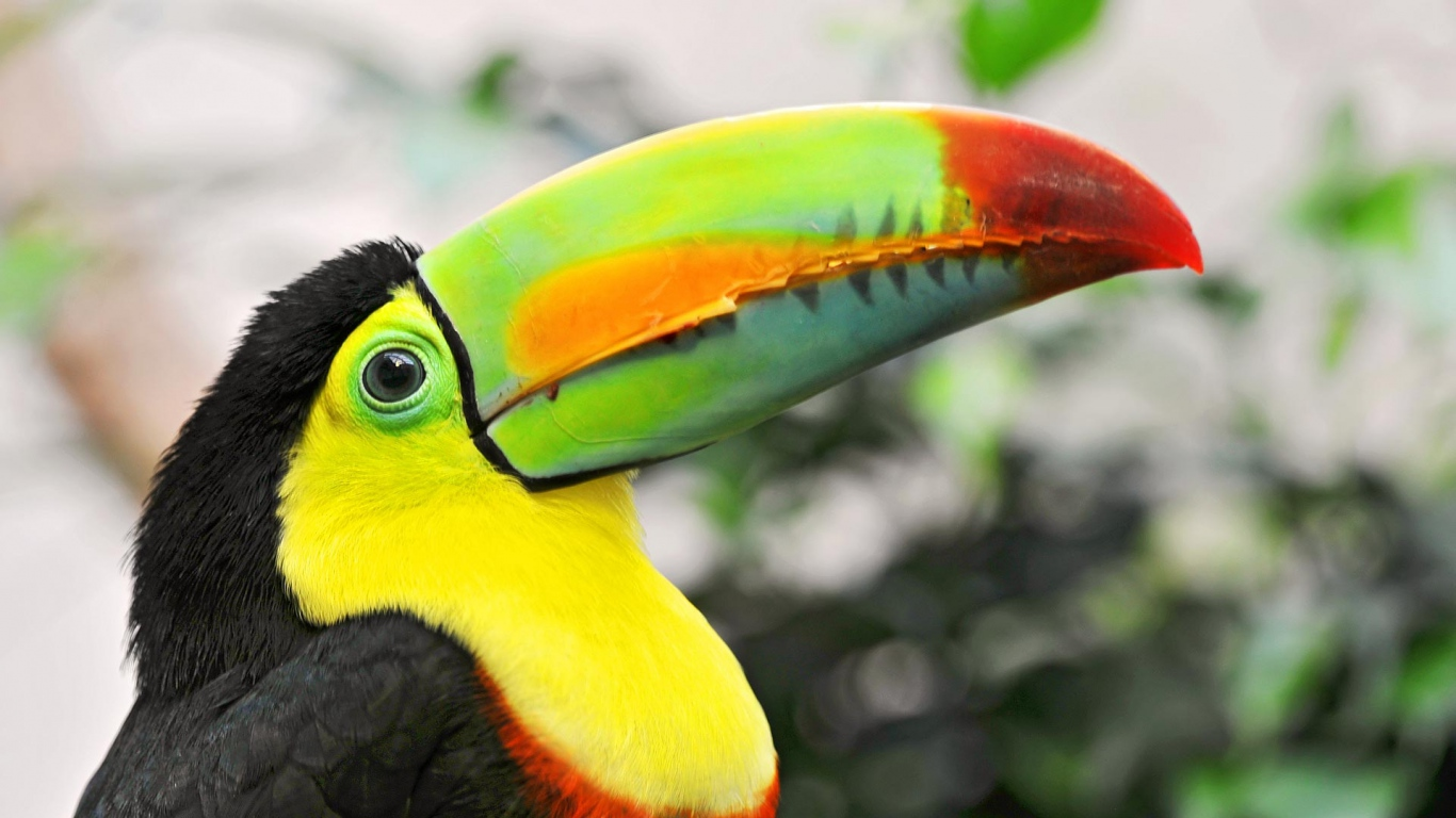 toucan bird picture