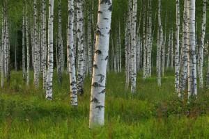 tree wallpaper birch forest