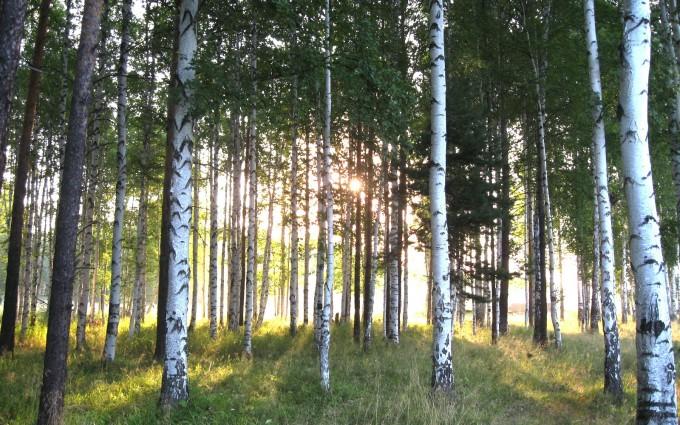tree wallpaper birch green