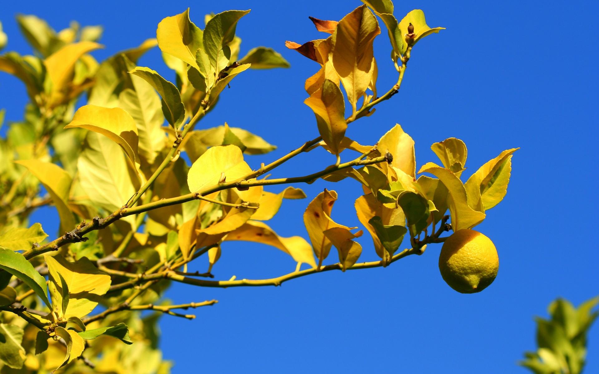 tree wallpaper lemon