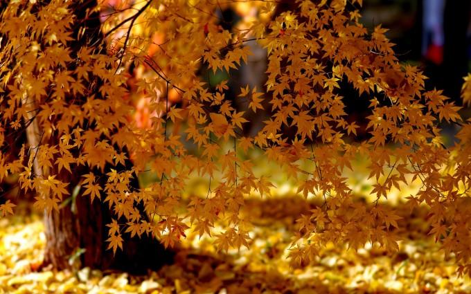 tree wallpaper maple free
