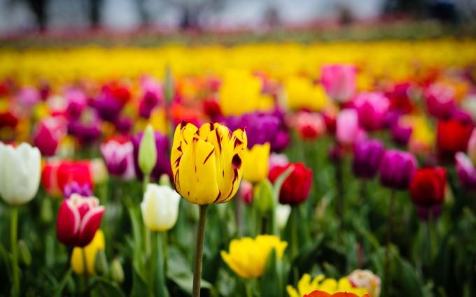 tulip field flowers