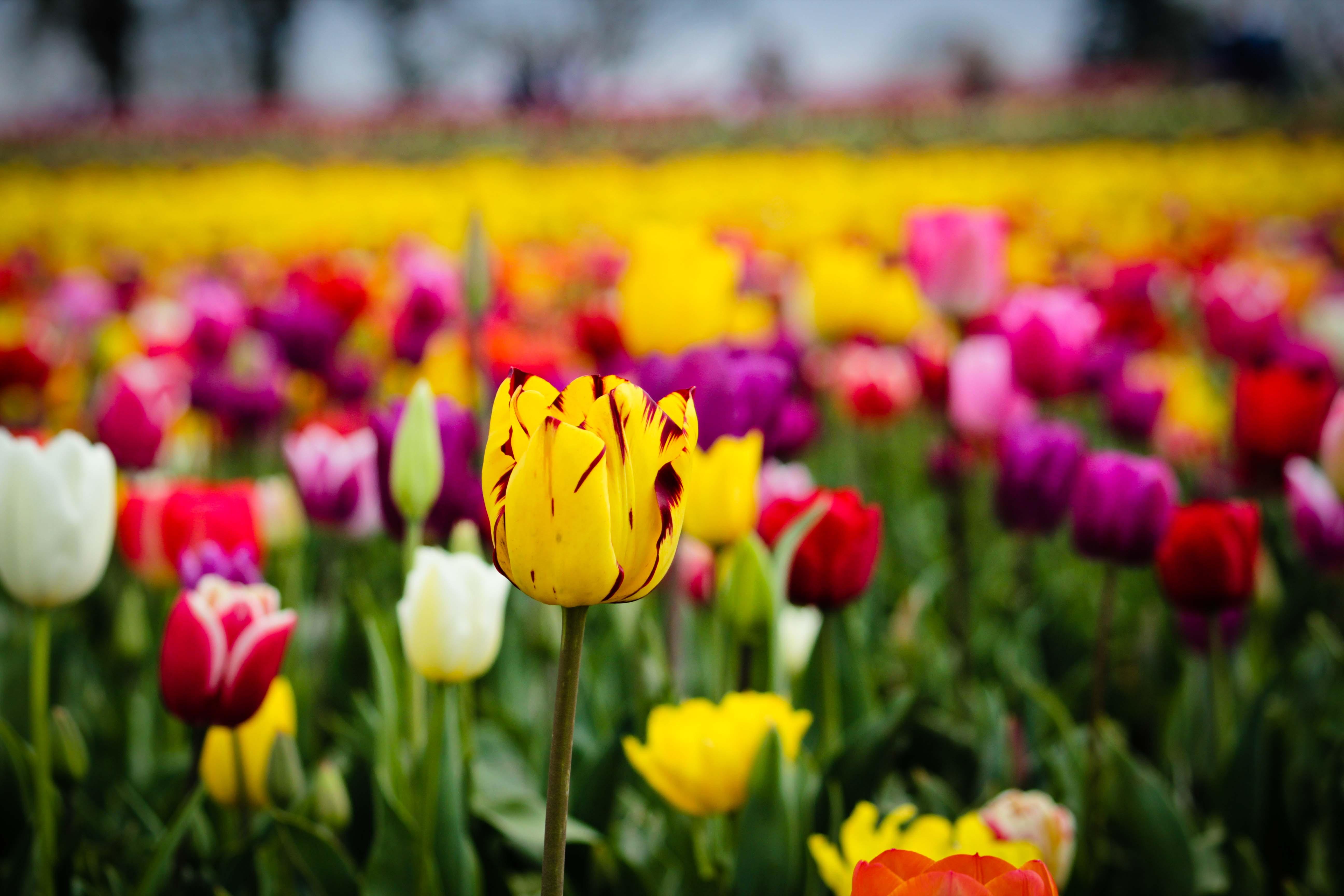 tulip field flowers - HD Desktop Wallpapers | 4k HD