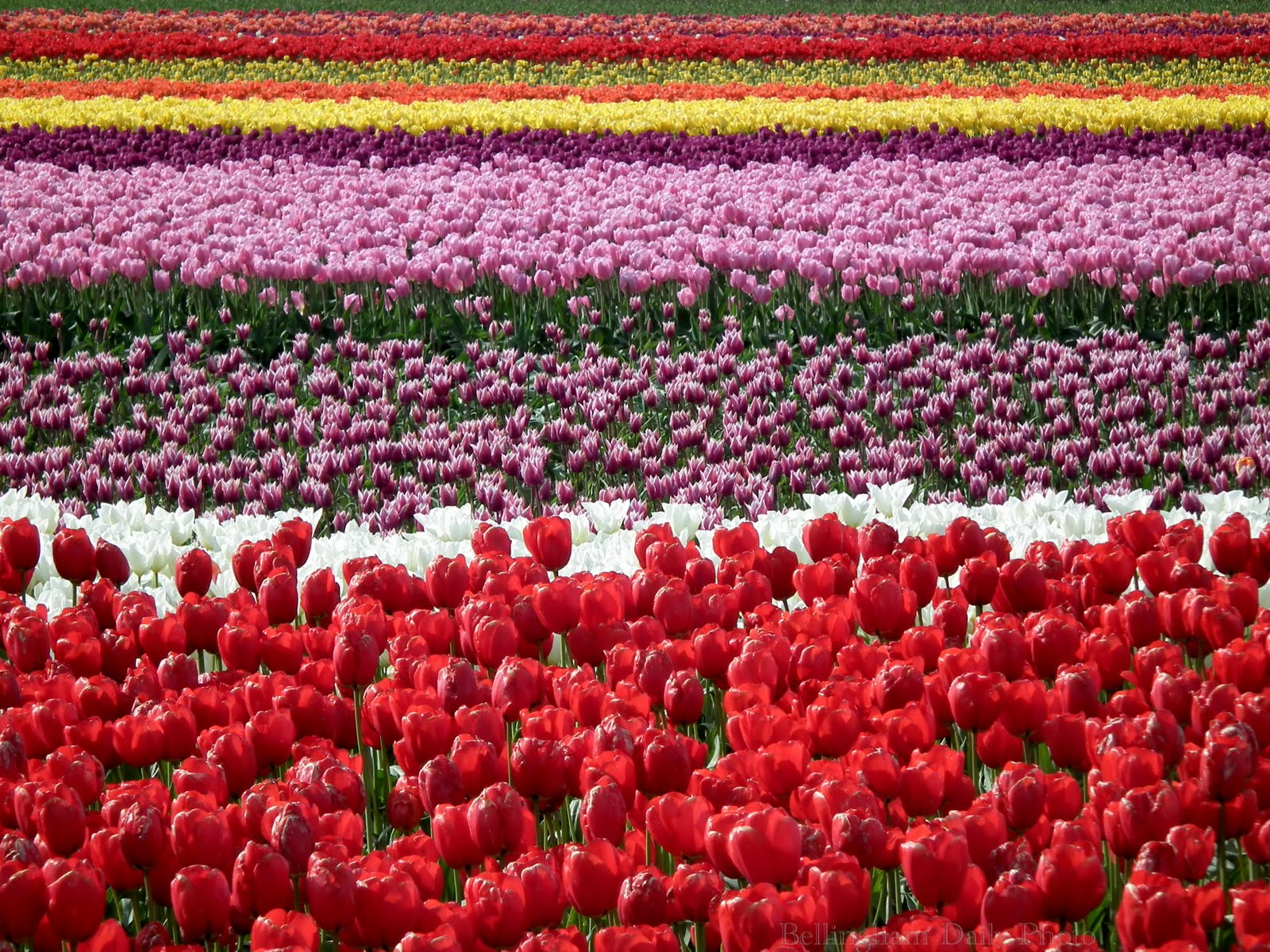 tulip fields colorful