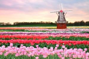 tulip fields laptop