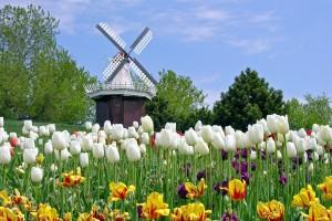 tulip fields white