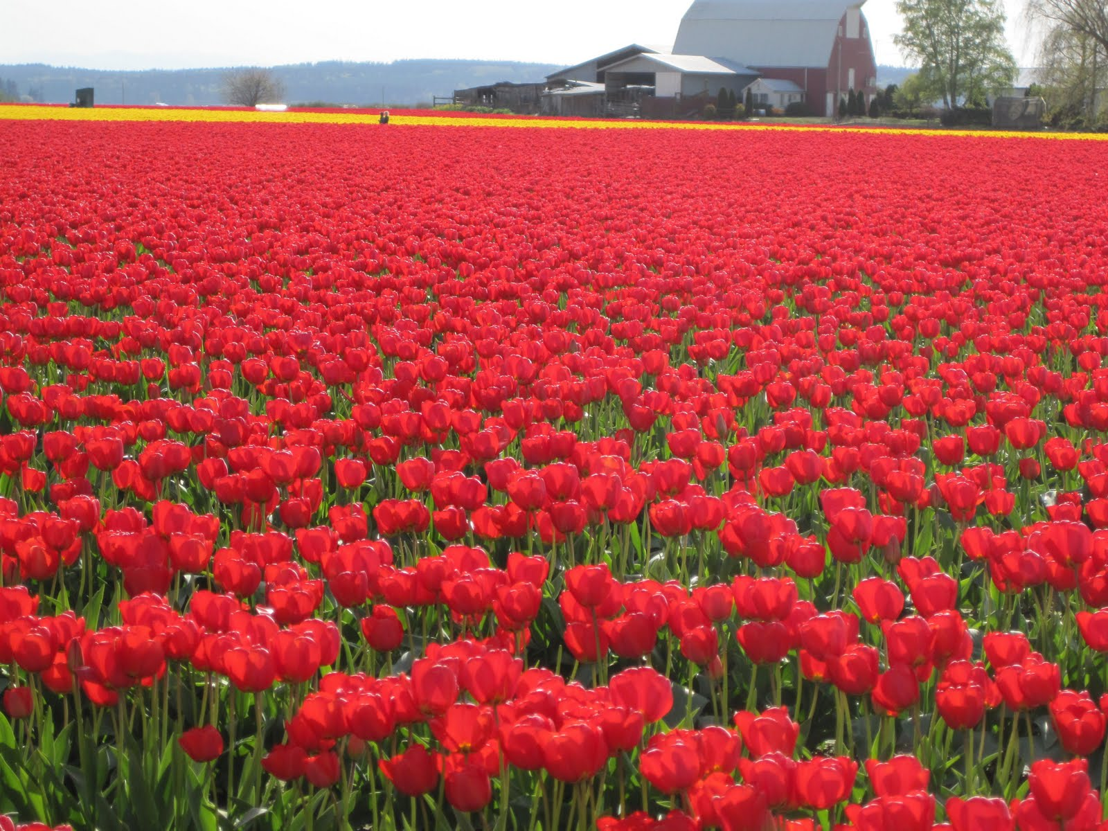 tulips pictures wallpaper red
