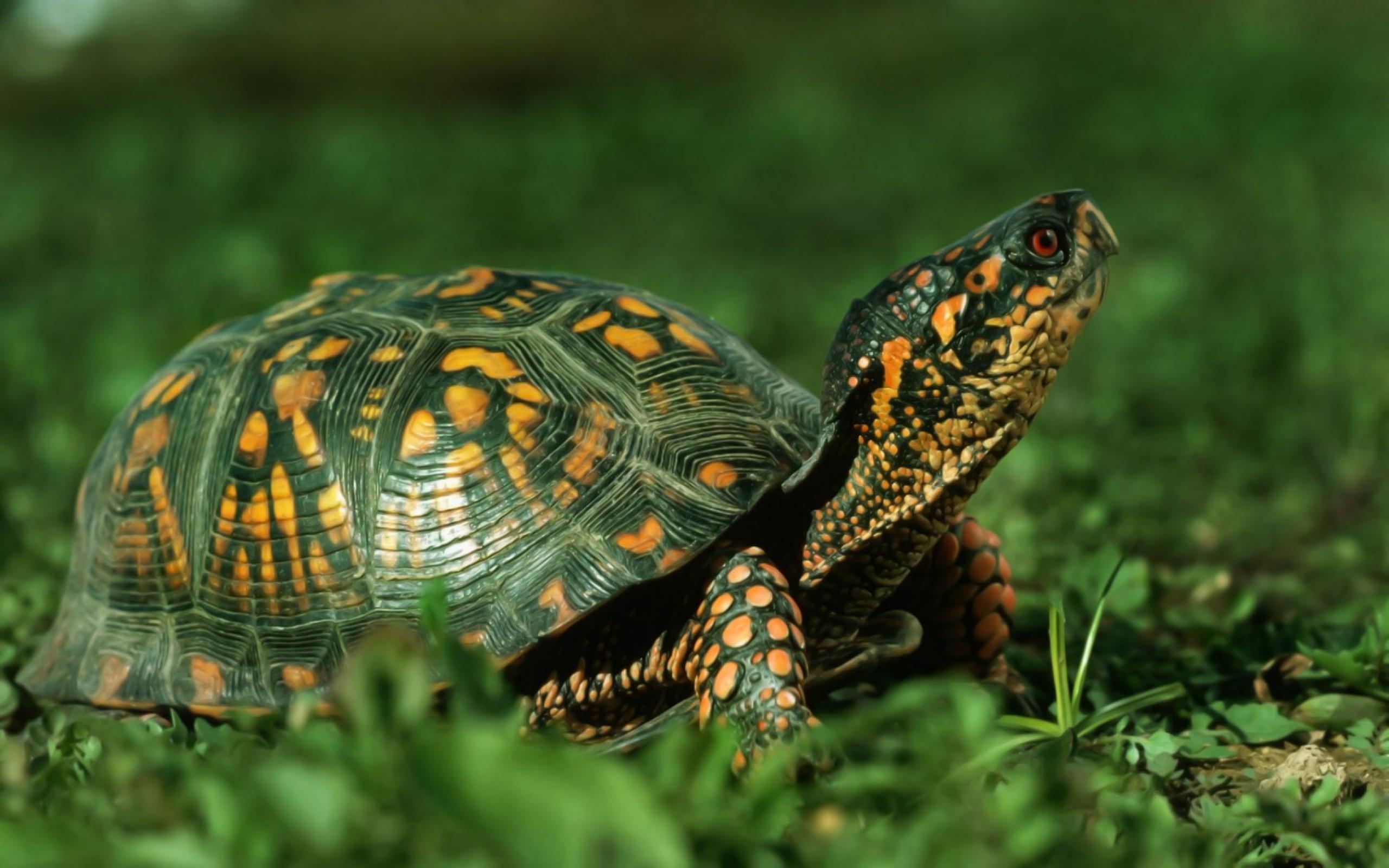 turtle desktop wallpaper
