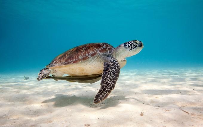 turtle underwater hd